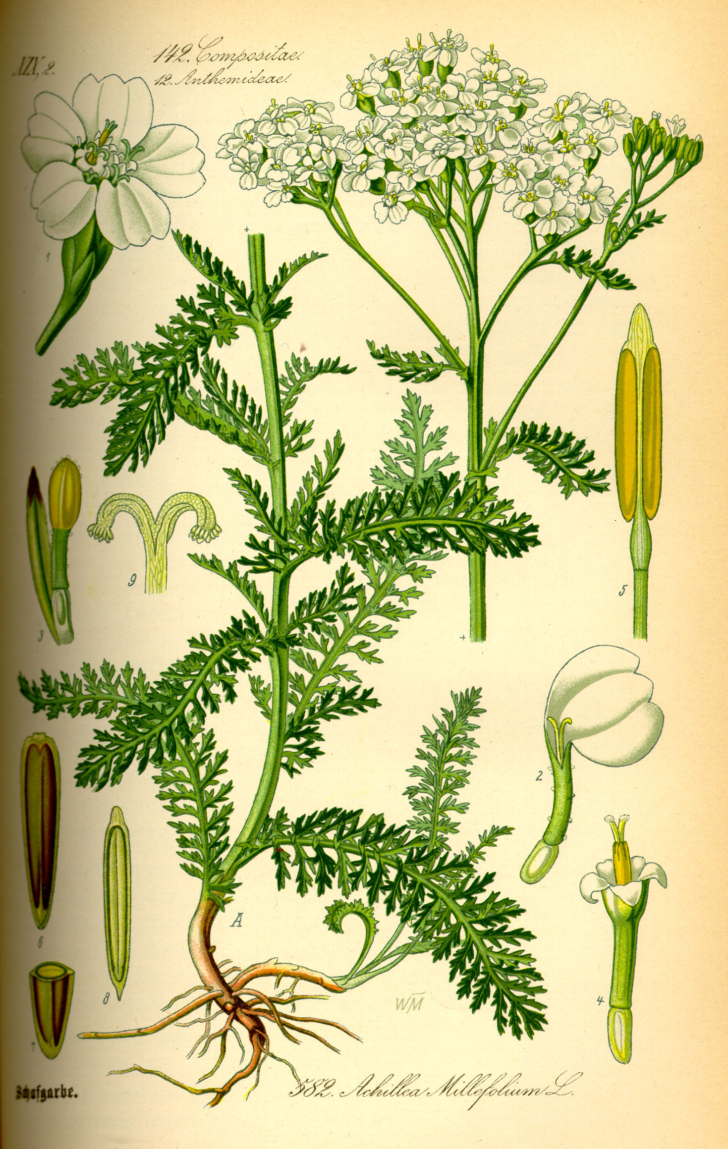 Illustration_Achillea_millefolium0
