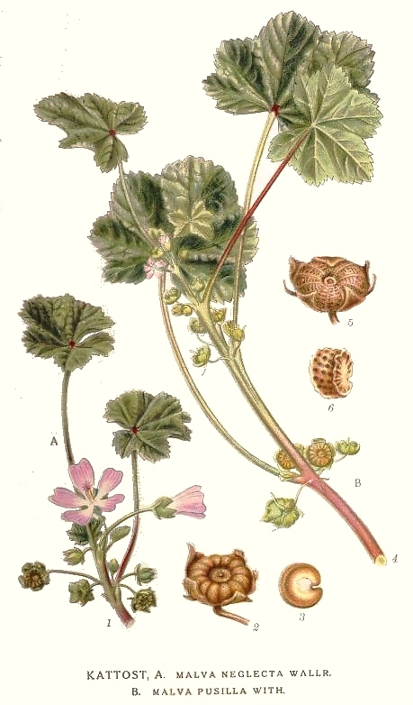 Dwarf Mallow : Malva neglecta